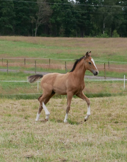 Riddpony foal, a real dream