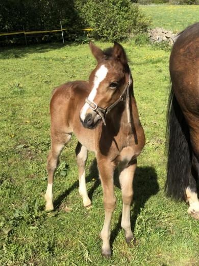 Svenskfödd ponny för framtiden