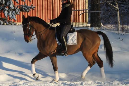 Dressyrryttare söker häst