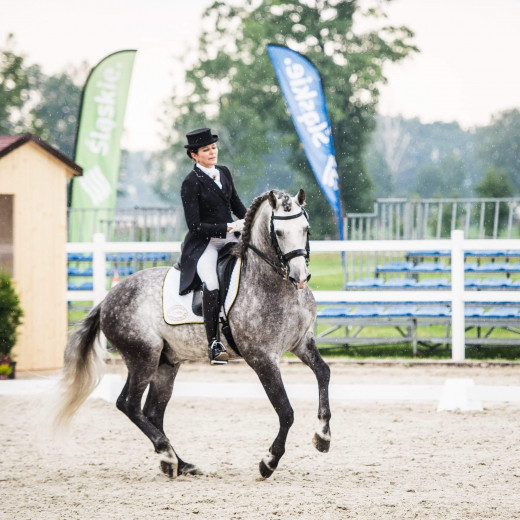 11yo andalusian dressage stallion