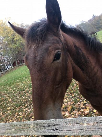 Söker medryttar häst