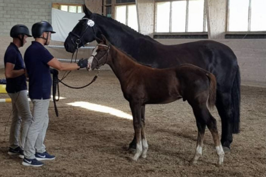 Hingst f:2021 e: King Olymbrio