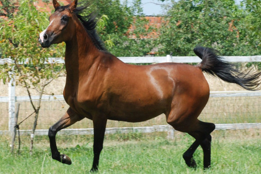 5 years old arabian mare, endurance prospect