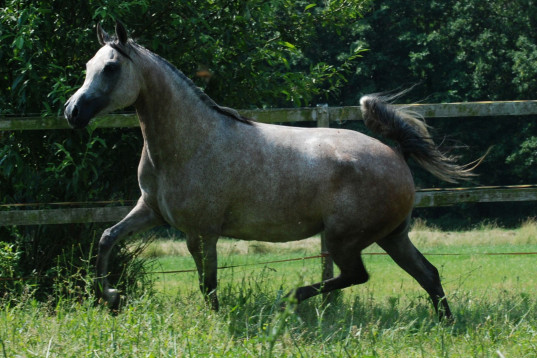 Polish arabian mare in foal 2020 to KANZ ALBIDAYER