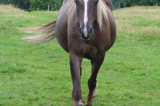 Hästmassör