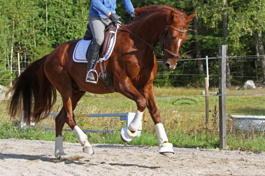 Dressyrtalang med supertemperament