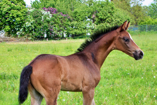 *** Elite and Champion Colt by De Niro Gold from a successful mother ****