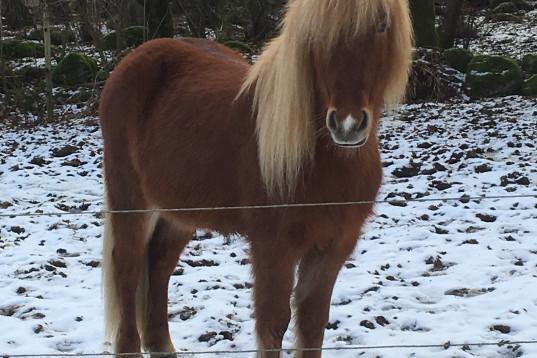 Medryttare sökes till trevlig islandshäst