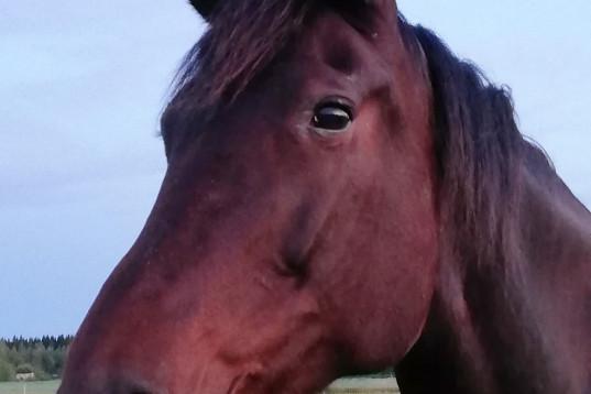 Promenad/sällskap häst söker sin nya människa